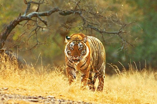 India il mondo delle tigri parchi nazionali indiani for Disegni delle tigri