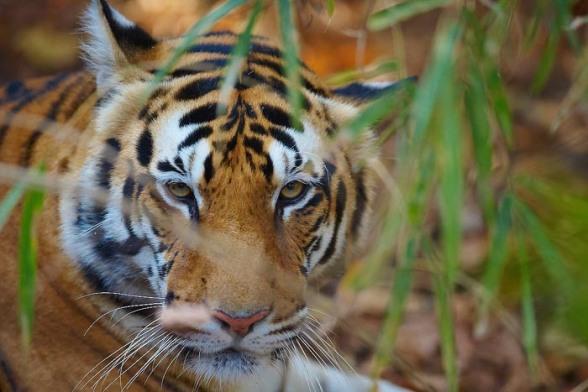 Tiger, hona, ca 3 år
