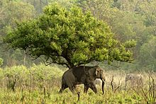 220px-Asian_Elephant_at_Corbett_National_Park