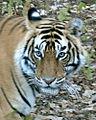 96px-Tiger1close