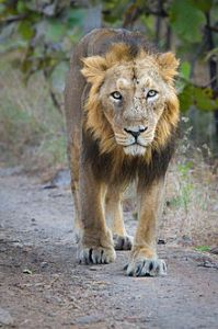 Adult_Asiatic_Lion