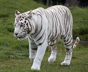 White_Tiger_6_(3865790598)