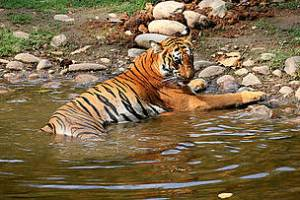 wild_tiger_31167