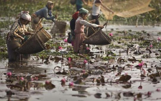 sankranti-lotus
